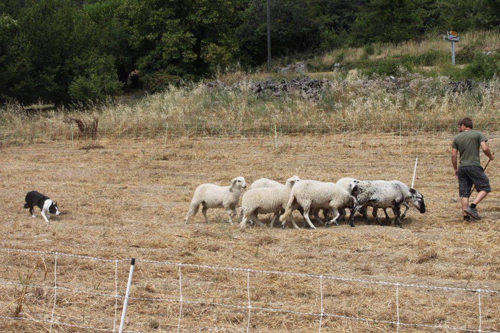Démonstration de chien de troupeau - Plaisians Pistou 2016